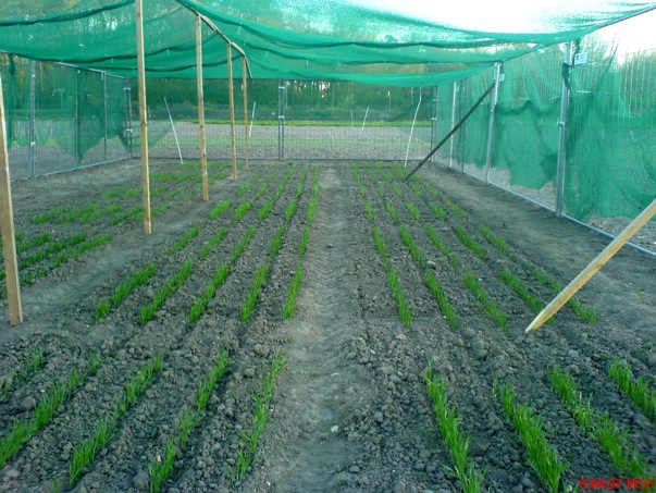 Genetically modified barley plants on the field site