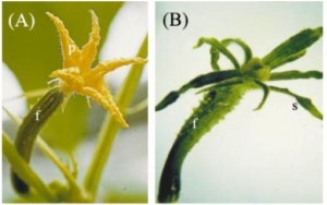 Italy Cucumber insect resistance GM crop research